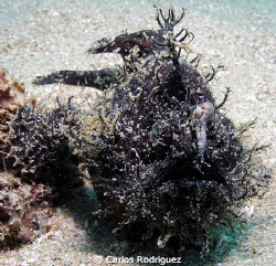 Dark Striated Frogfish, depth 27 feet. by Carlos Rodriguez 
